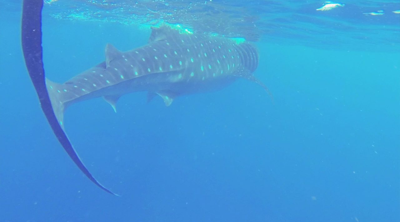 Whale Shark Diving | Outdoor Adventures in the Philippines | Travel Video | ANYDOKO