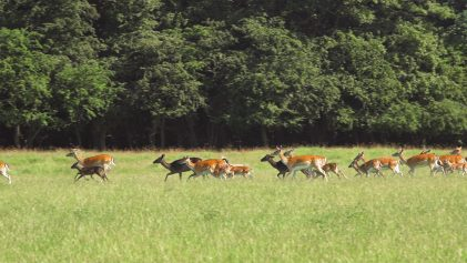 Herd of Deer in a Field | Dyrehaven Deer Park | Denmark Travel Video | ANYDOKO