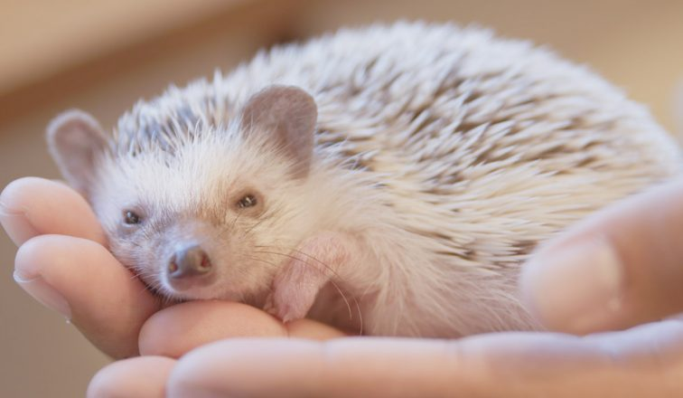 Holding a cute hedgehog in palm   Cutest Hedgehog Cafe In Tokyo   Japan Travel Video   ANYDOKO